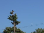 White Pine Bald Eagle Moon